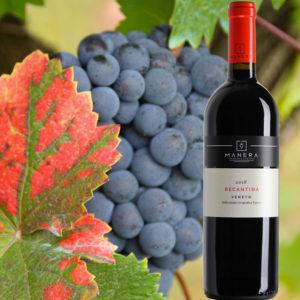 recantina-uva-rosso-igt-veneto-vitivinicola-manera-castelfranco-veneto